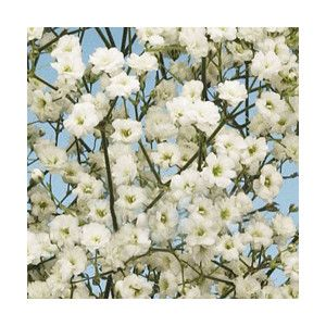 Pin By Laurita Ylagan On Flowers W Symbolic Meaning Babys Breath Flowers Babys Breath Diy Wedding Flowers