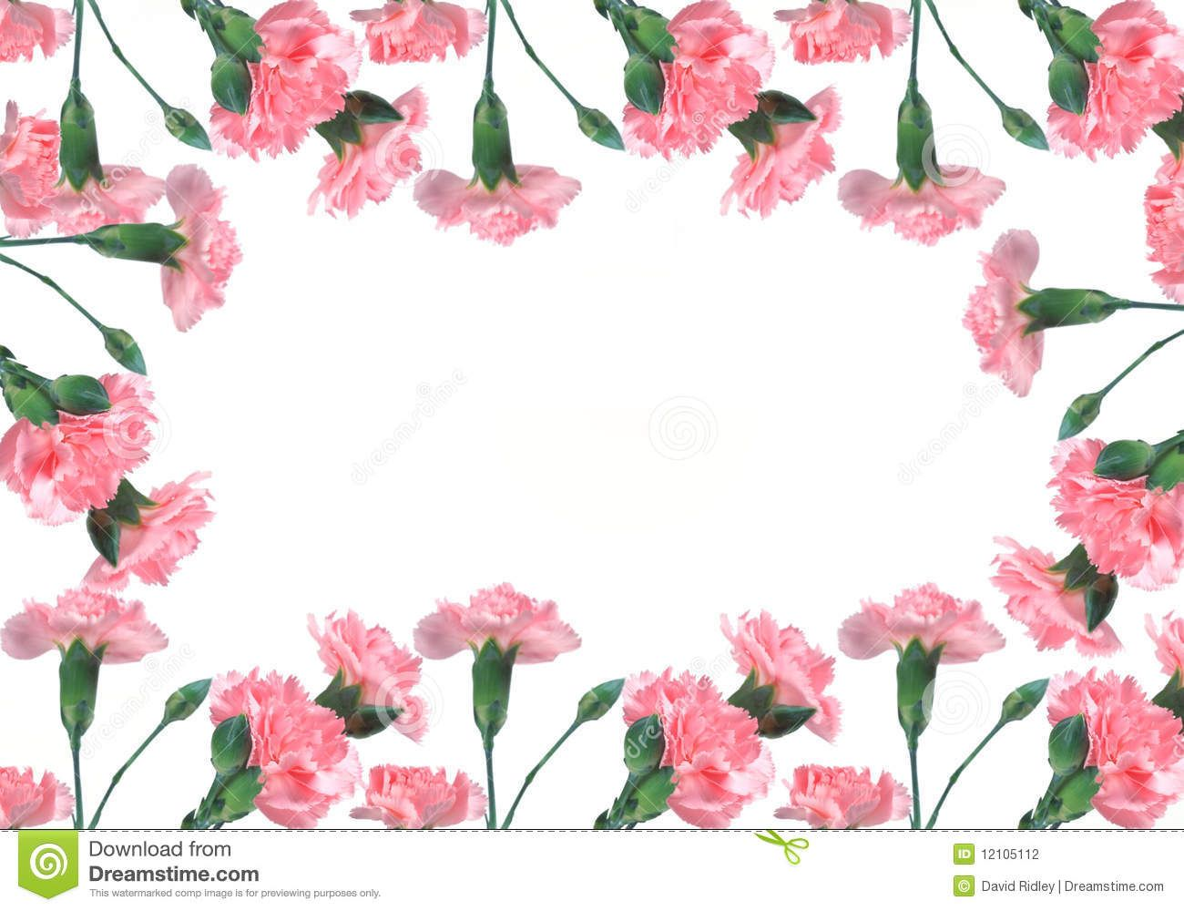 Pink Carnation Background Pink Carnations On A White Background Stock Photography Image Carnations Pink Carnations White Background