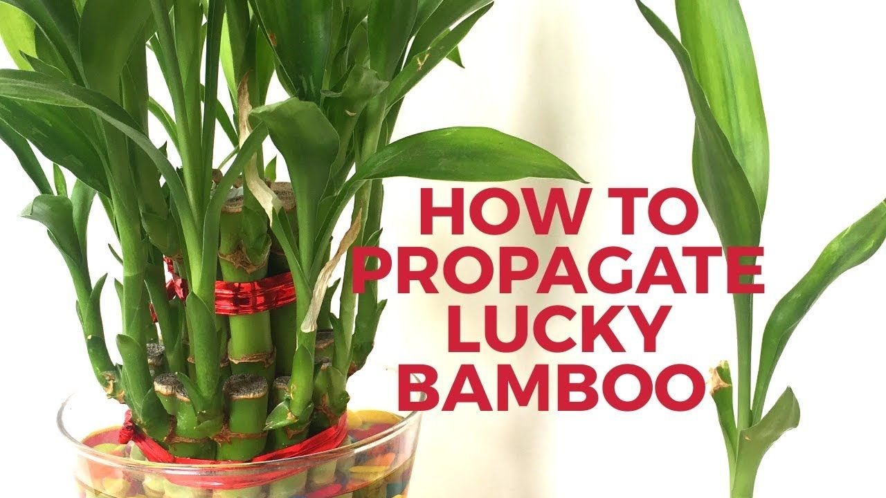 How To Grow Lucky Bamboo From Cuttings How To Propagate Lucky Bamboo Lucky Bamboo Lucky Bamboo Plants Bamboo Planter