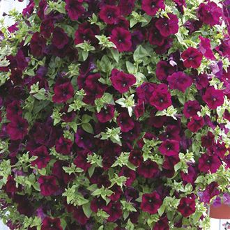 Petunia Surfinia Burgundy Flower Plants 8 95 From Mr Fothergills
