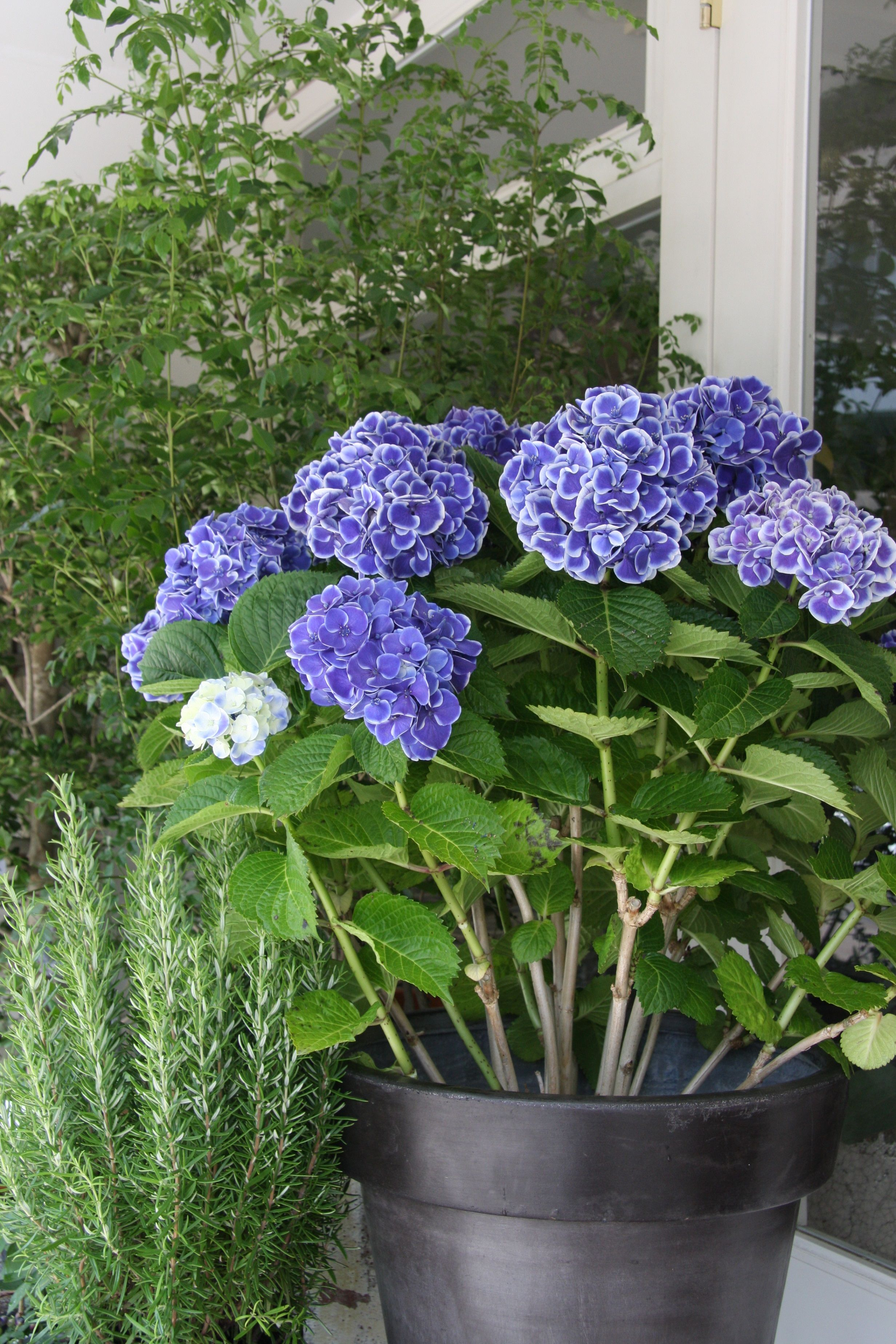 Hydrangea Beautiful Hydrangeas Flower Garden Hydrangea