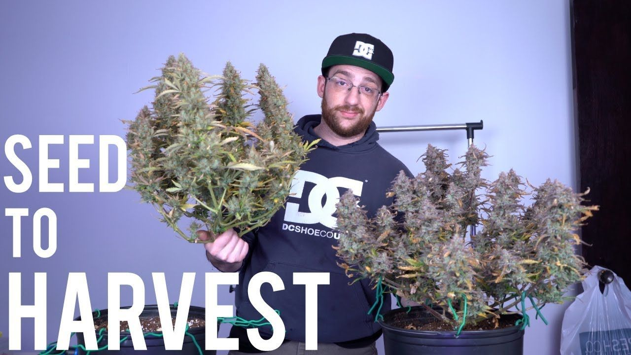 BEGINNERS HARVEST GUIDE: AUTOFLOWER SEED TO HARVEST SUMMARY in 2019