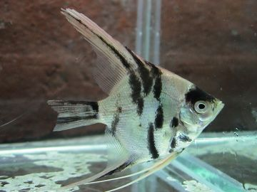 Marble Pearlscale Angelfish Sale Price: $9.59