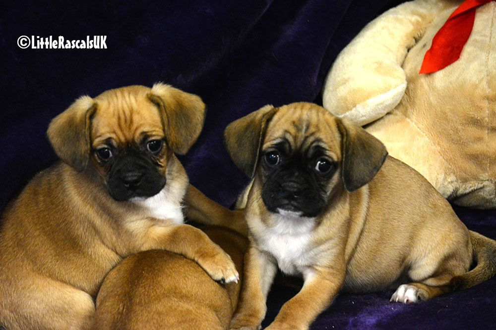 Jugalier Puppies For Sale Little Rascals Pets Ltd Pug Puppies