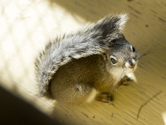 Phoenix Zoo tries to save rare squirrels