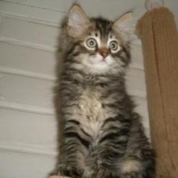 Bucky: Domestic Medium Hair, Cat; Tucson, AZ.  Oh he's so cute!