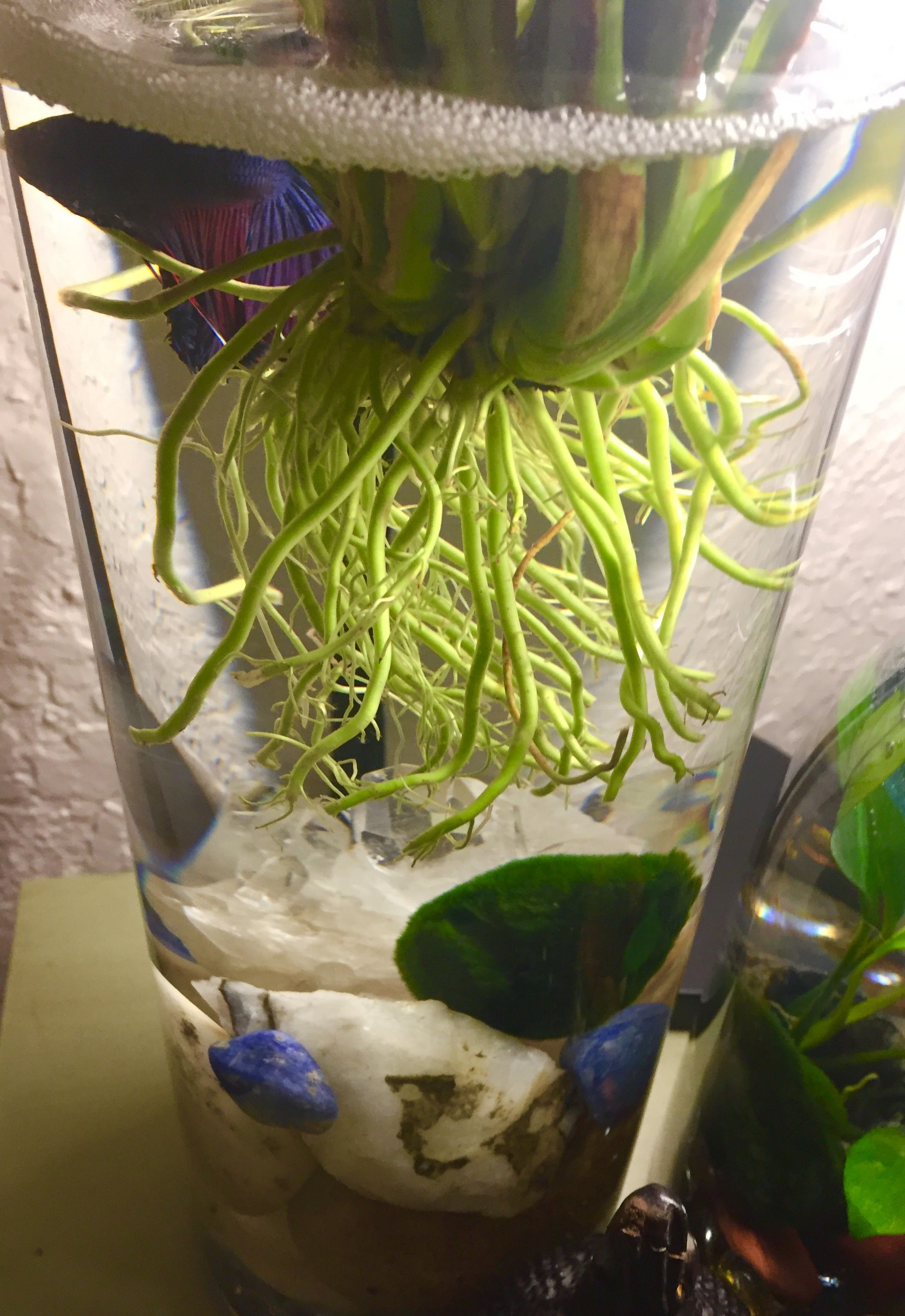 Happy Betta Fish In A Temporary Smaller Warmer Vase For The Cold