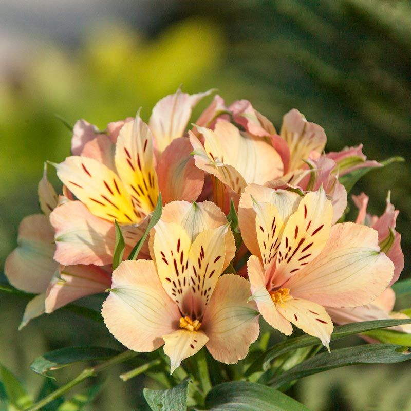Inca Ice Peruvian Lily Alstroemeria Koice Spring Hill Nurseries