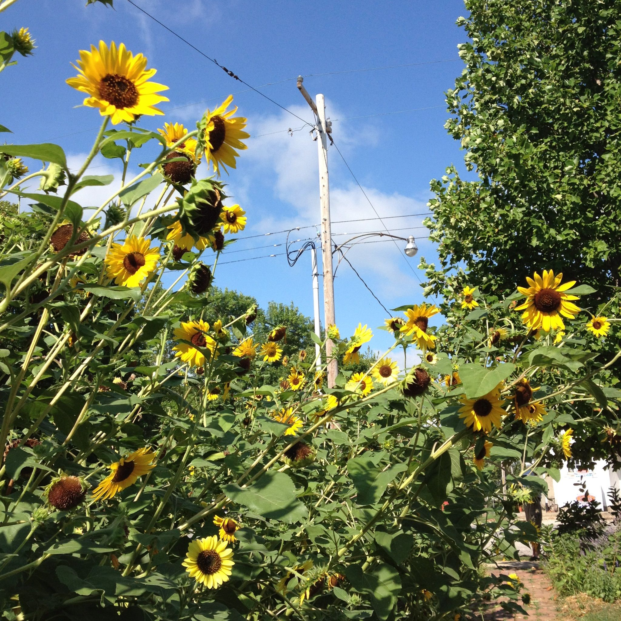 Sunflowers in Hill (With images) Garden, World