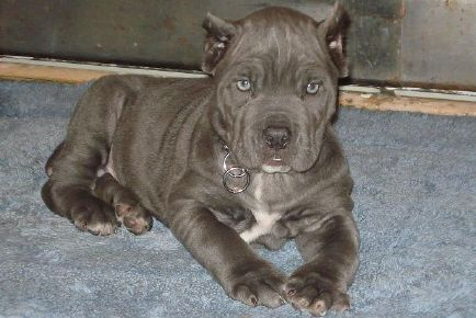 Blue Cane Corso Puppy Cane Corso Cane Corso Cane Corso Corso Dog