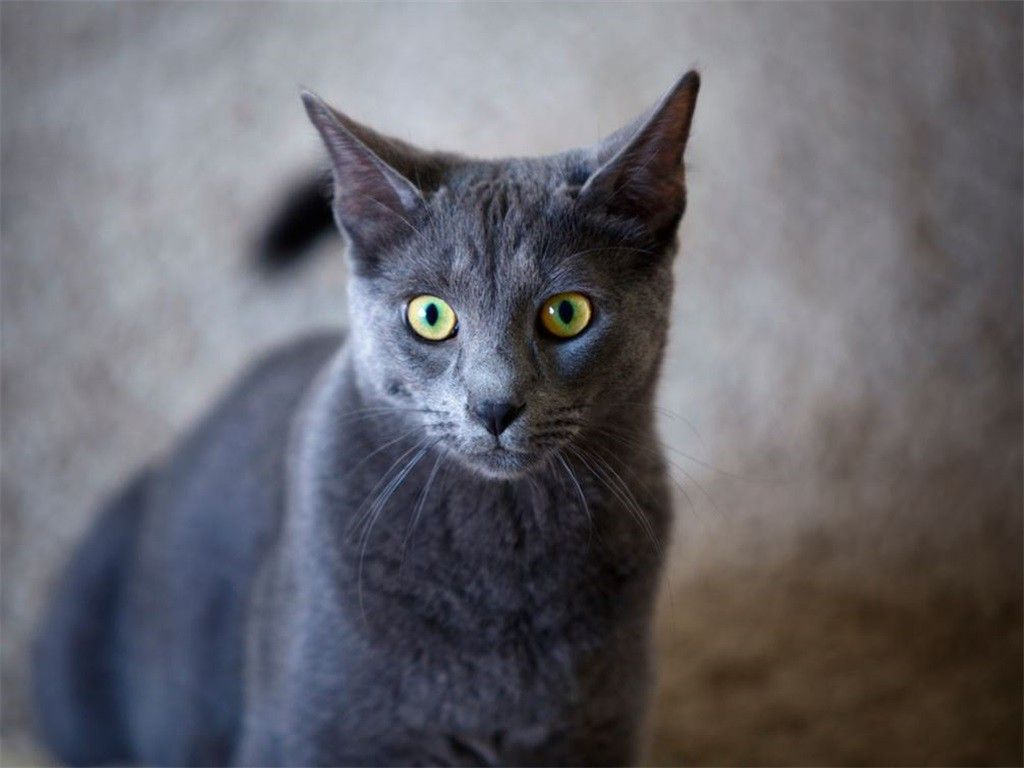 The Korat is a natural breed and one of the rare cat breeds