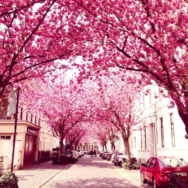 Flores de cerezo en Bonn , Alemania