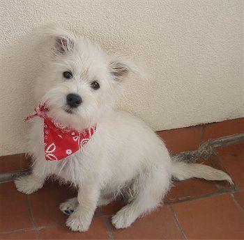 Westie Hybrid Dogs Hybrid Dogs Westie Puppies Westies