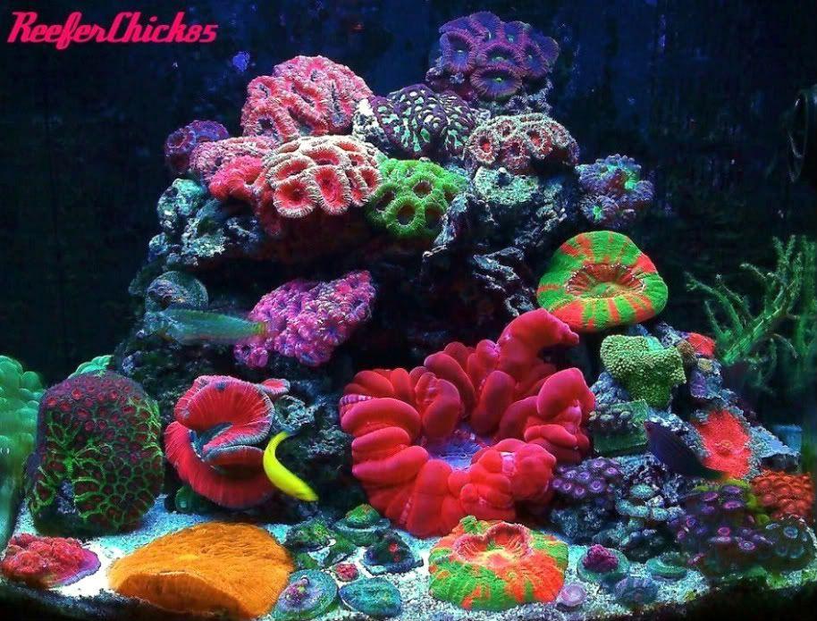 Nano reef tanks on pinterest reef aquarium aquarium and for Nano saltwater fish