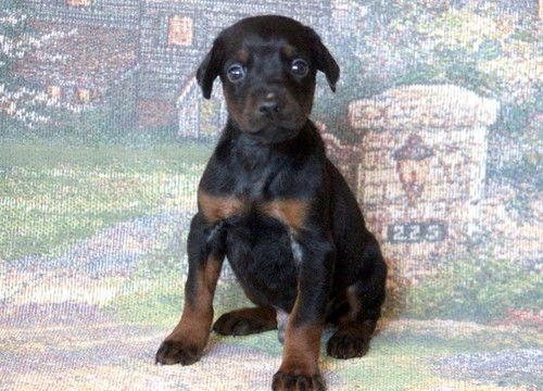 Doberman Pinscher Puppy For Sale In Mount Joy Pa Adn 54818 On
