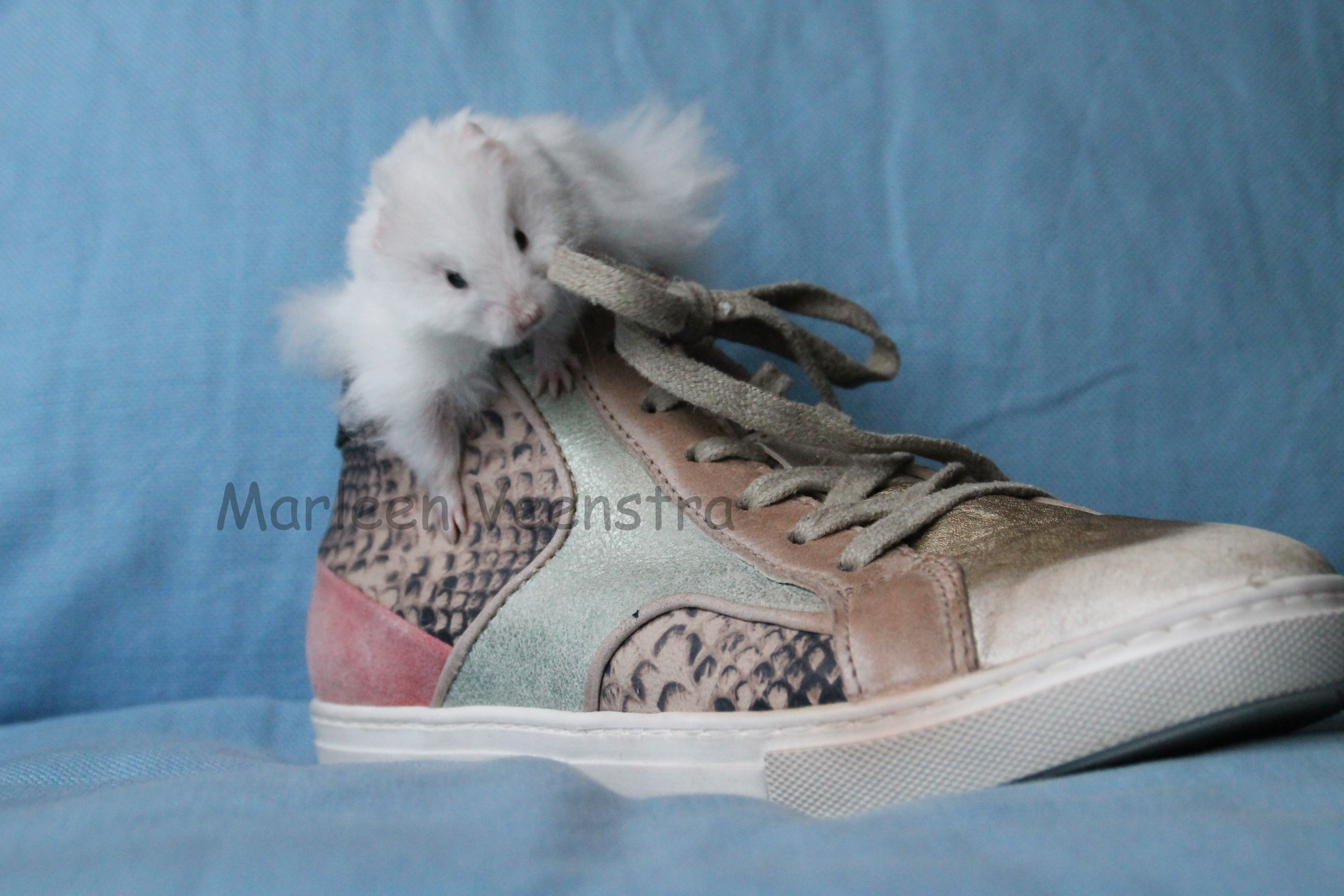 Syrian Hamster Syrische hamster ( goudhamster) White