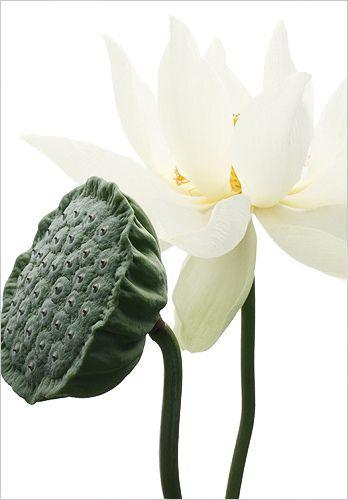 White lotus flower pod img6298 white lotus flower white white lotus flower and pod mightylinksfo Gallery