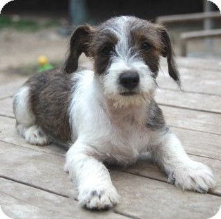 North Kingstown Ct Shaggy Dog Rescue Ri Wirehaired Fox Terrier Dachshund Mix Meet Schroeder A Dog For Adopti Wirehaired Fox Terrier Fox Terrier Terrier