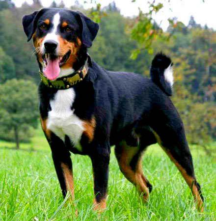 Appenzell Mountain Dog Entlebucher Sennenhund Hunderassen