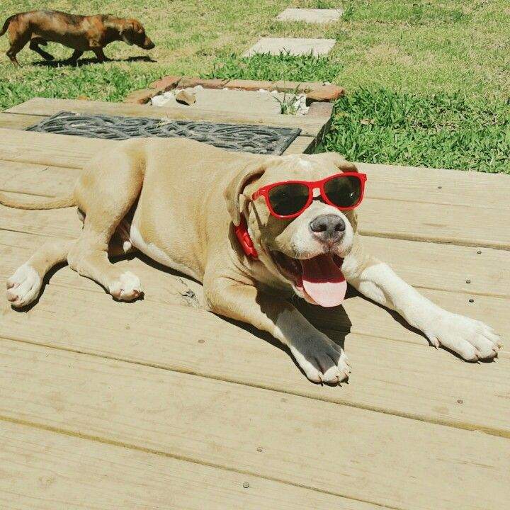 Tallahassee Fl Gotti Pitbull Puppies Pitbulls