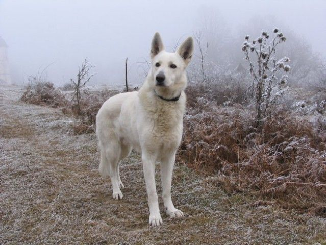 berger blanc suisse dog photo Ovčar Berger Blanc Suisse,White