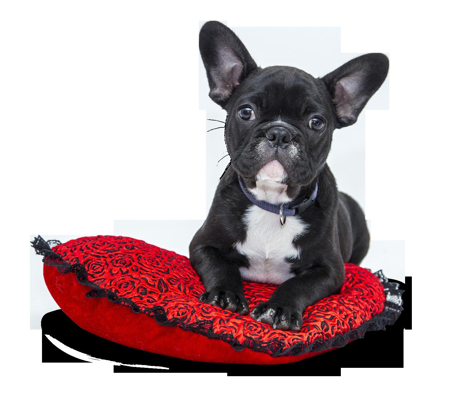 Dog Png Google Search Franzosische Bulldoggenwelpen Franzosische Bulldogge Franzosische Bulldogge Grau