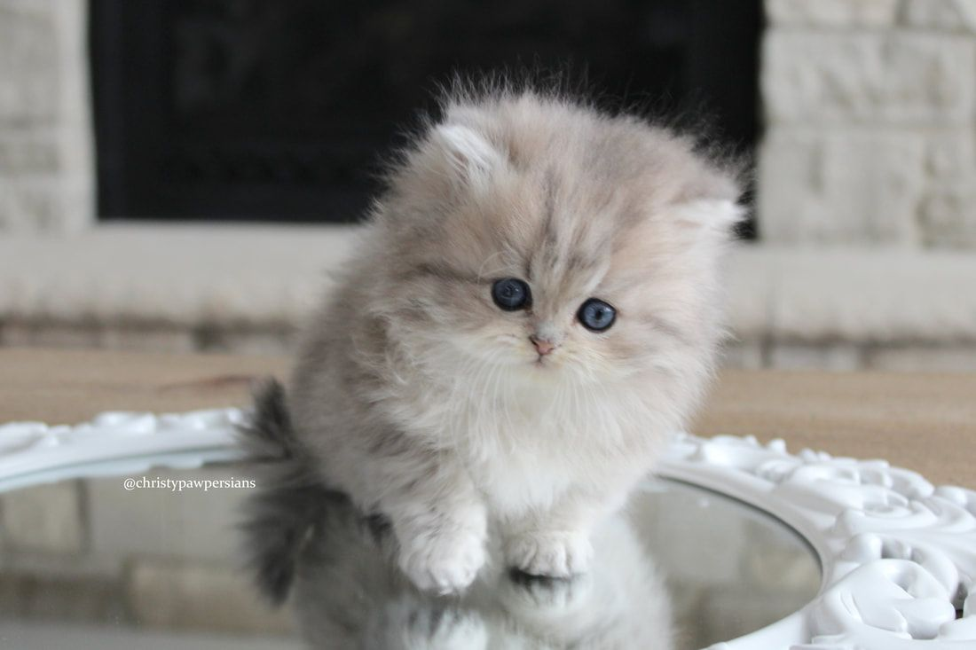 CHRISTYPAW PERSIANS Persian kittens for sale in Missouri