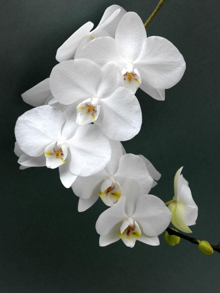Very Large Phalaenopsis Tokyo 21 Flowering Size Grandiflora Orchid Uk Seller Orchids Phalaenopsis Flowers