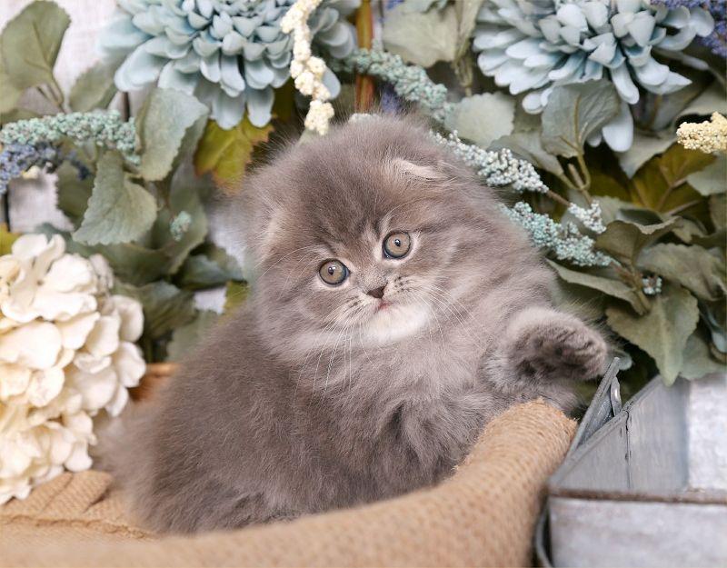 Blue Silver Tabby Persian Fold Kitten For Sale In 2020 Kittens Cutest Kitten For Sale Persian Kittens