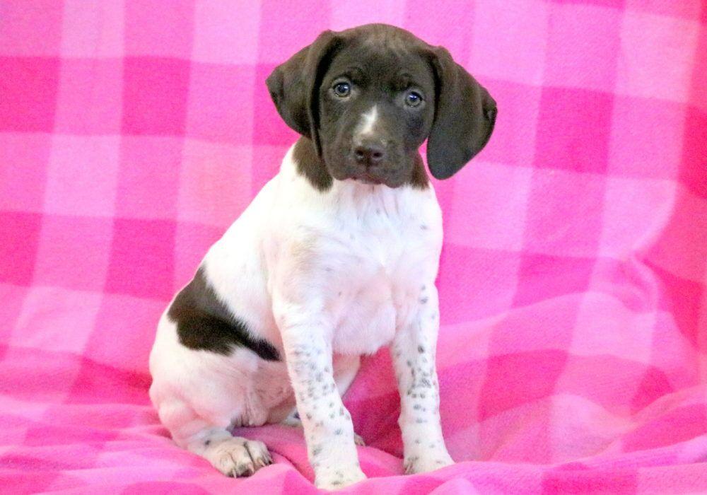 Dream health guaranteed keystone puppies puppies for