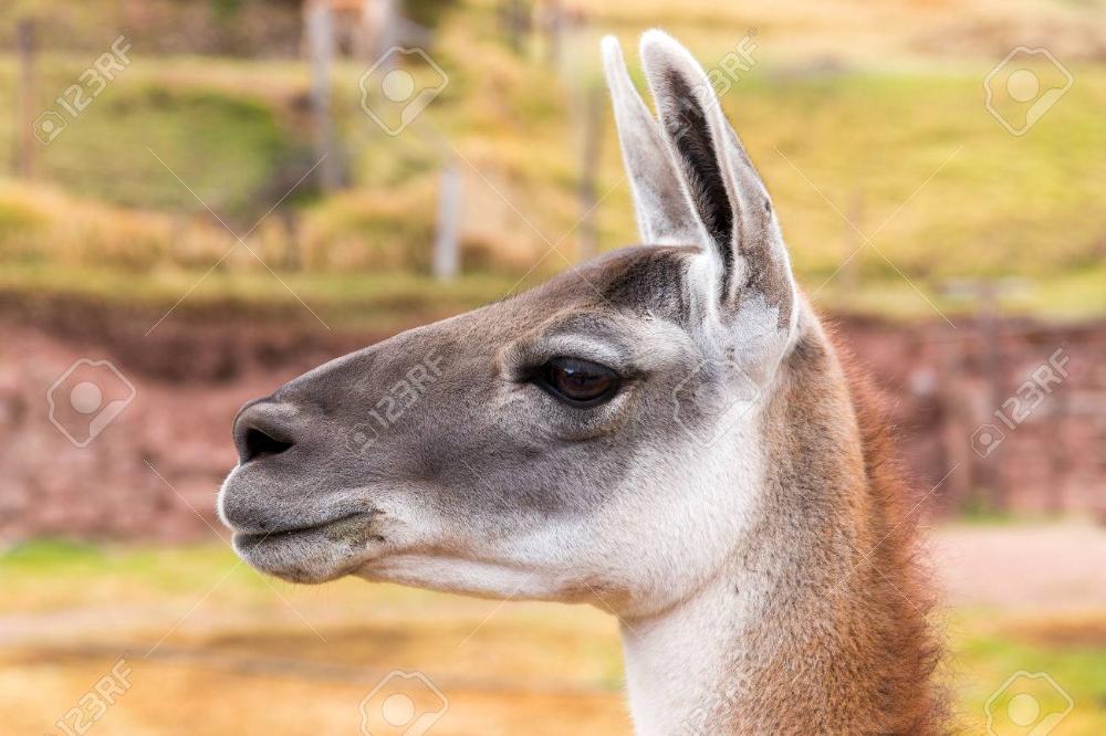 Llama peruana. Granja de llama, alpaca, vicuña en Perú, América del Sur. Animal.Llama andina es camélidos sudamericanos Foto de archivo - 23015714