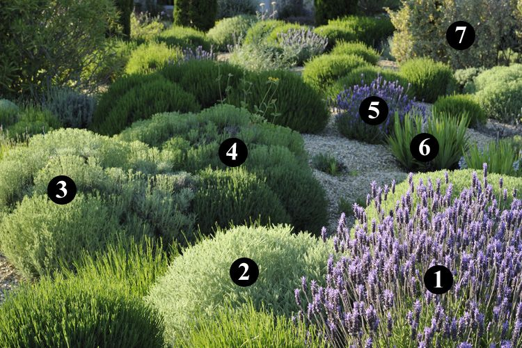 1 lavandula dentata 2 santolina neapolitana 39 edward bowles 39 3 santolina lindavica 4. Black Bedroom Furniture Sets. Home Design Ideas