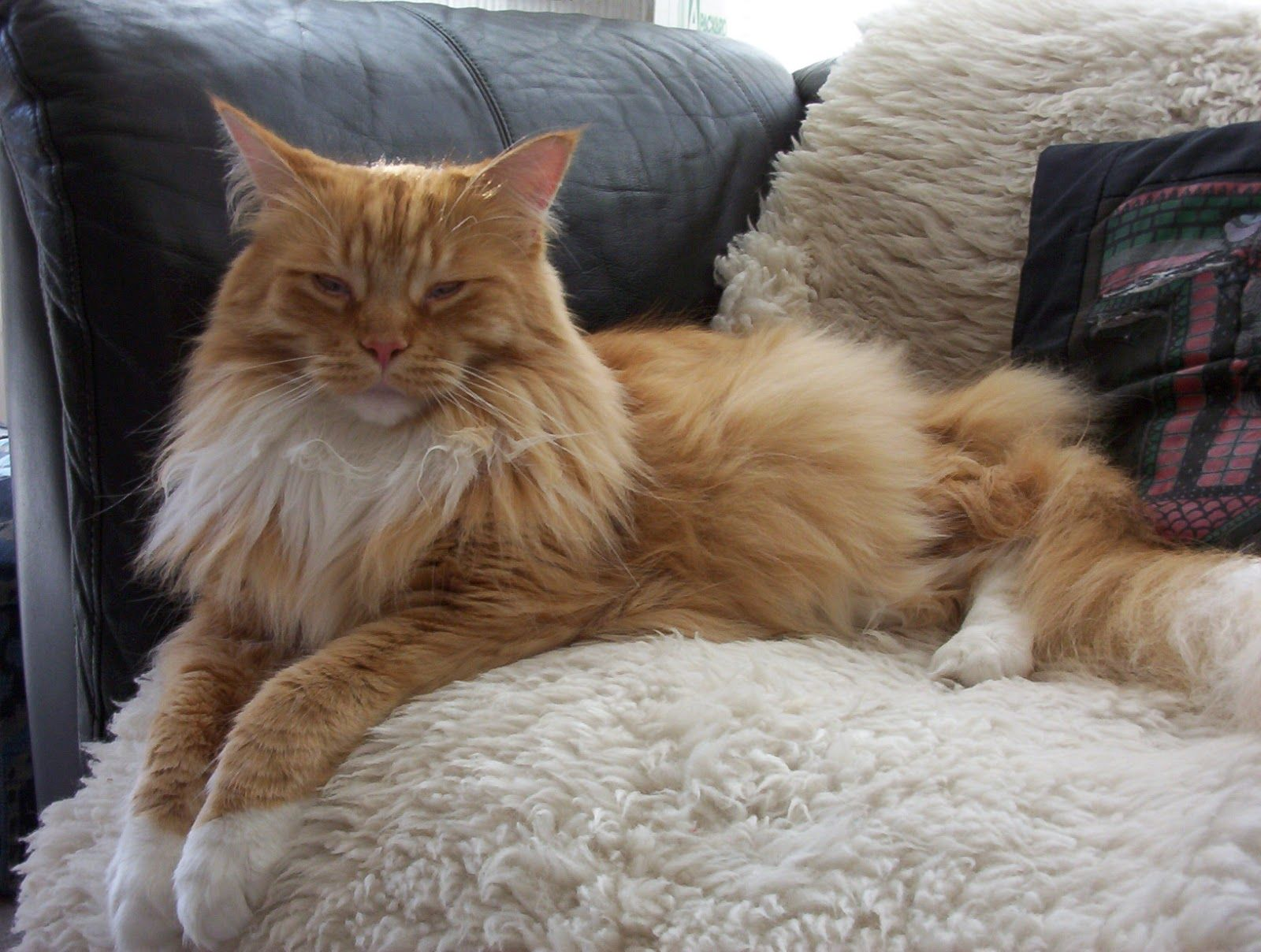 17 Most Popular Long Haired Cat Breeds Around the World