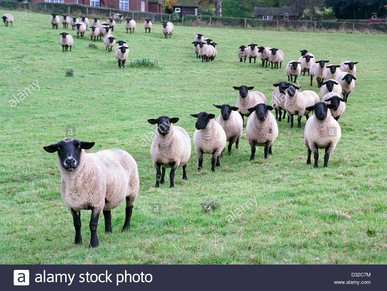 Stock Photo Line Of Sheep In Field Belbroughton Worcestershire England Sheep Lamb Pictures Worcestershire
