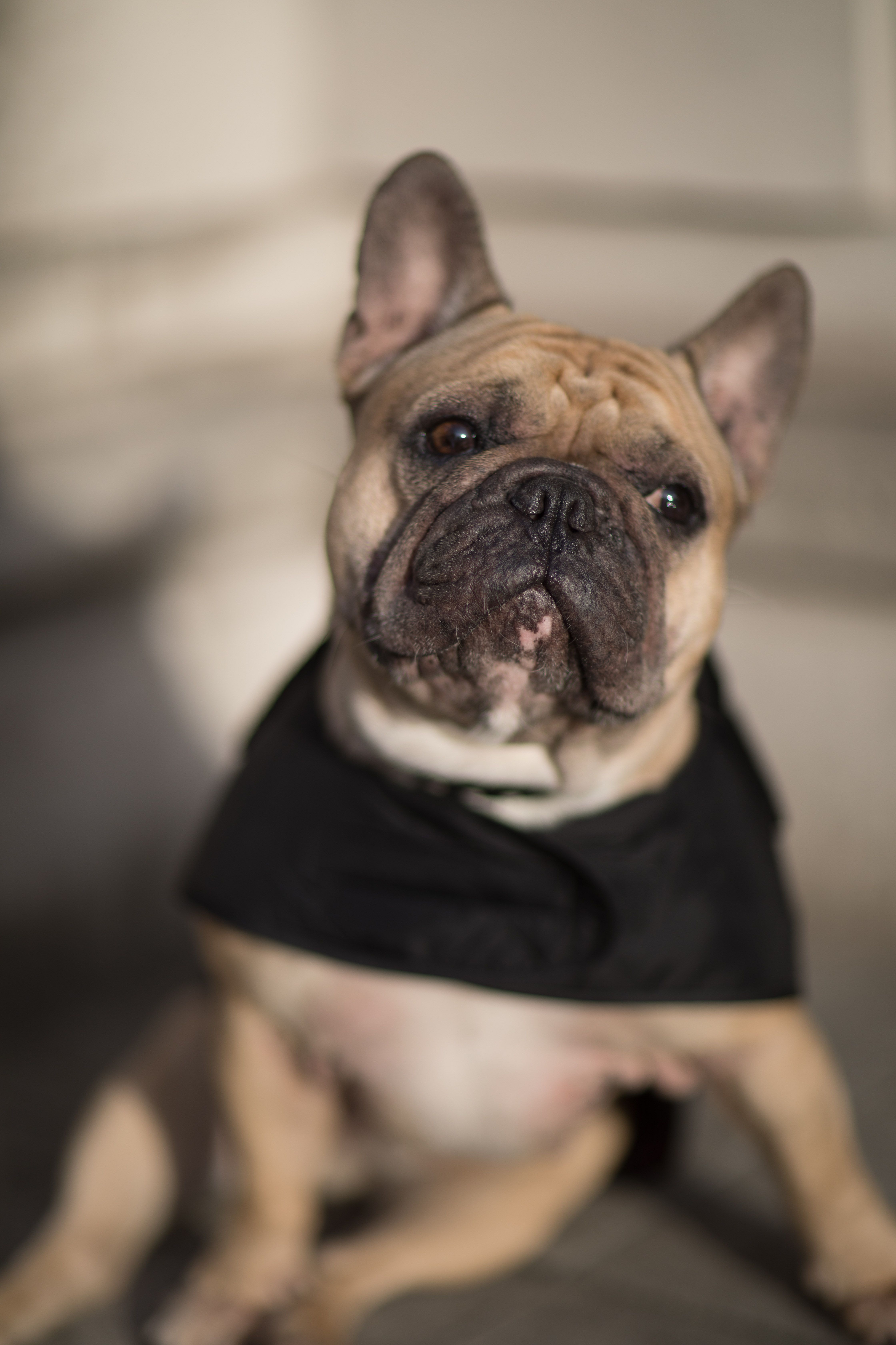 Gambit The Frenchie Styling His Barbour Dogs Accessories For