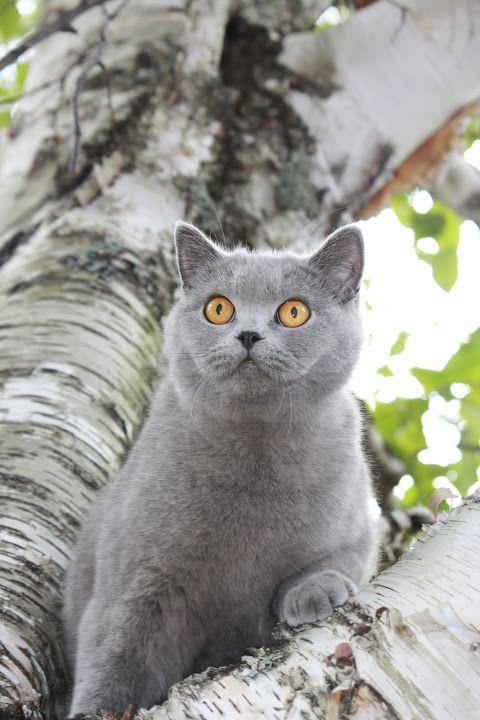 Blubears Lady Buttons Animals Cats Ancestor