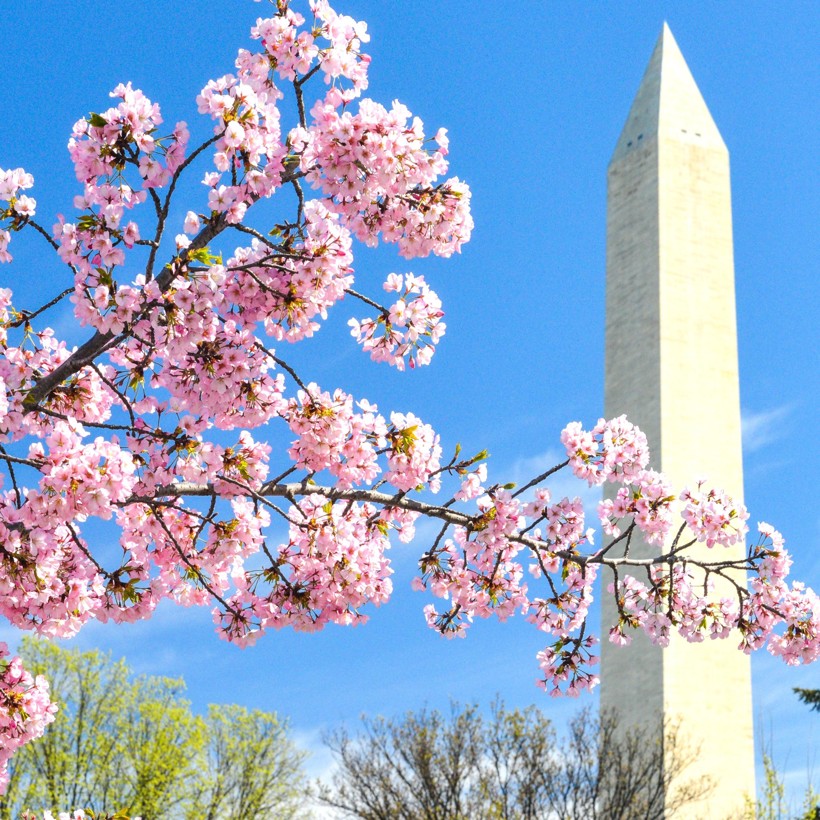 The National Cherry Blossom Festival In Washington Dc Takes Place March April Heres How To Make The Most Of This S In 2020 Kyoto Travel Kyoto Japan Travel Tokyo Travel