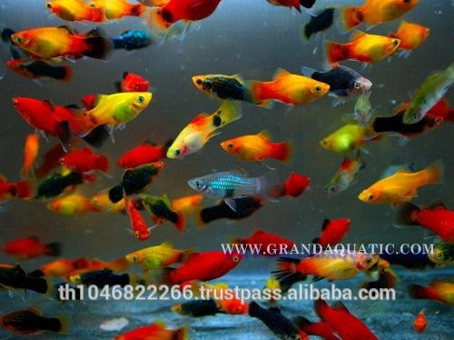 fancy platy fish - Google Search | platy | Platy fish ...