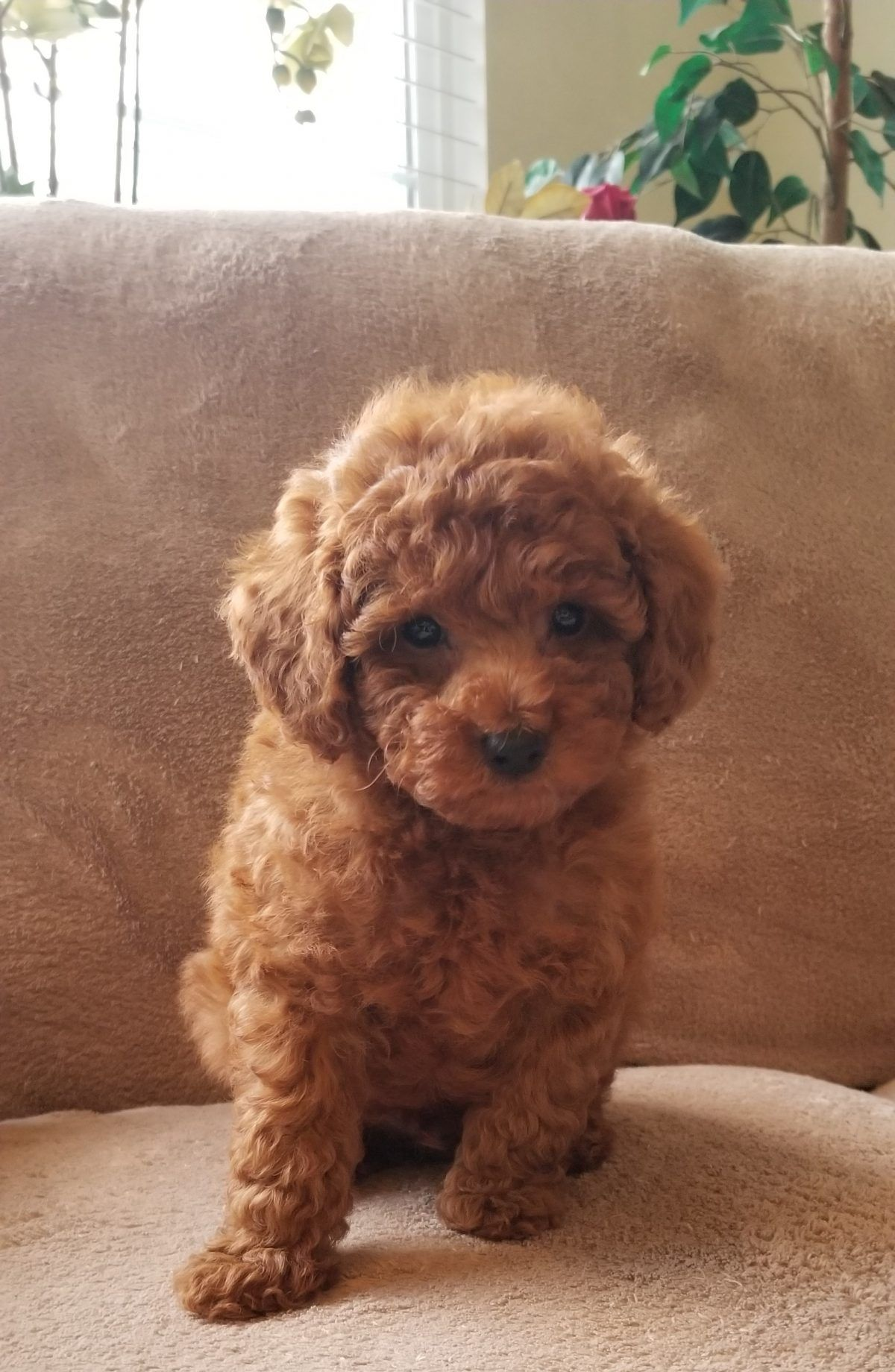 Tiger male AKC Poodle puppy for sale in Oxnard