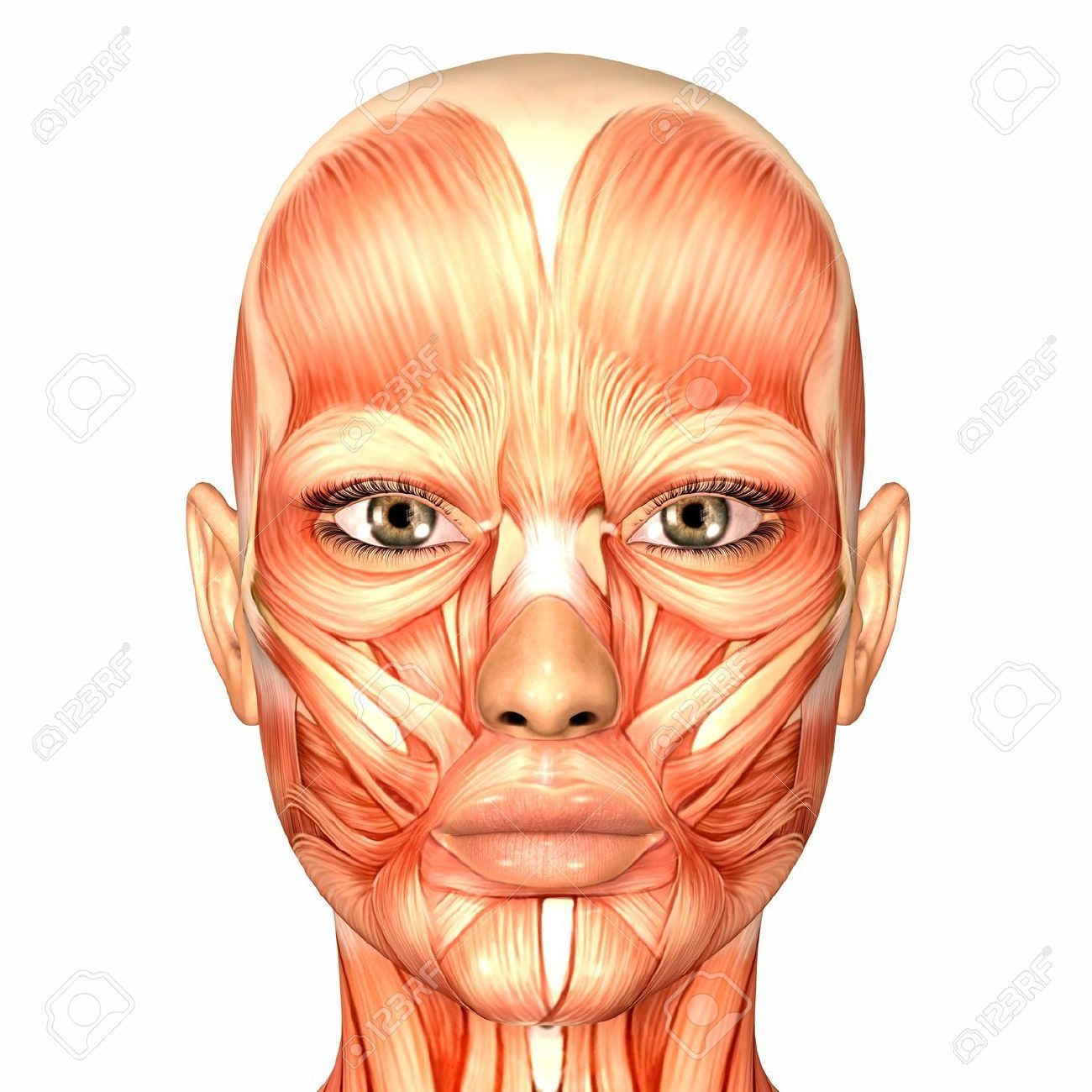 Face Neck Shoulders Anatomy Painting Google Search Anatomy