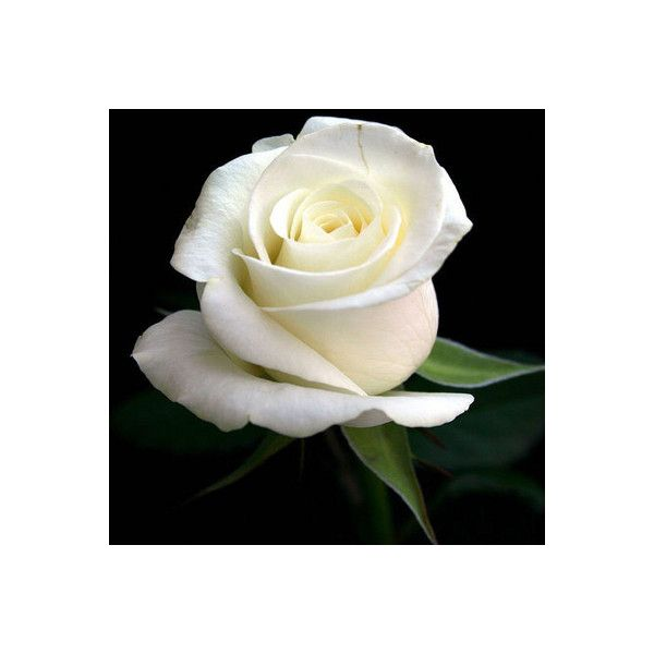 Pin By Shanny Davis On My Polyvore Finds Pinterest White Roses