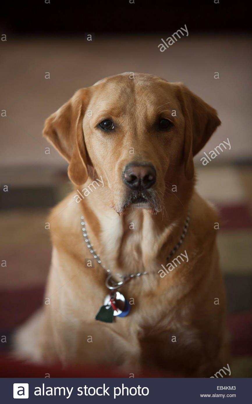 Einem Englischen Labrador Und Golden Retriever Mix Mitglied