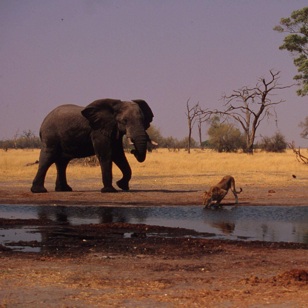 Olifant Bij Bai Water Plek Met Leeuwen Drinken Afrika Dieren Wilde Dieren Natuur