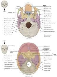 image result for skull diagram blank | anatomy & physiology i, Wiring diagram