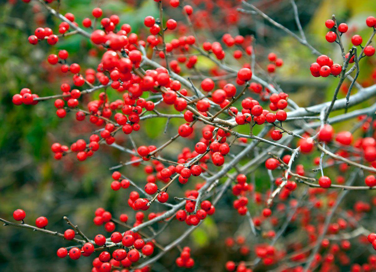 colorful shrubs for a standout winter garden shrub gardens and