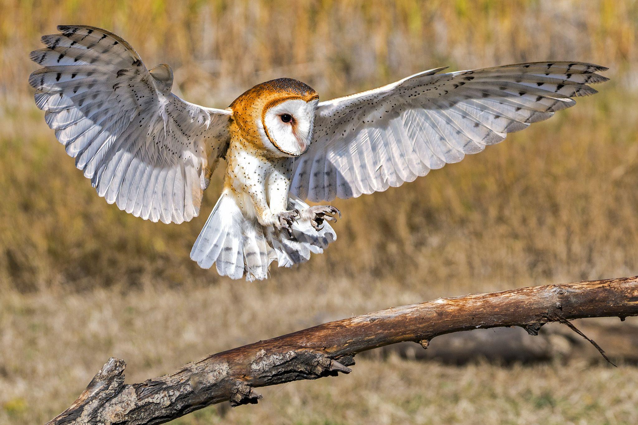 Barn Owl Landing Barn Owl Owl Pet Birds