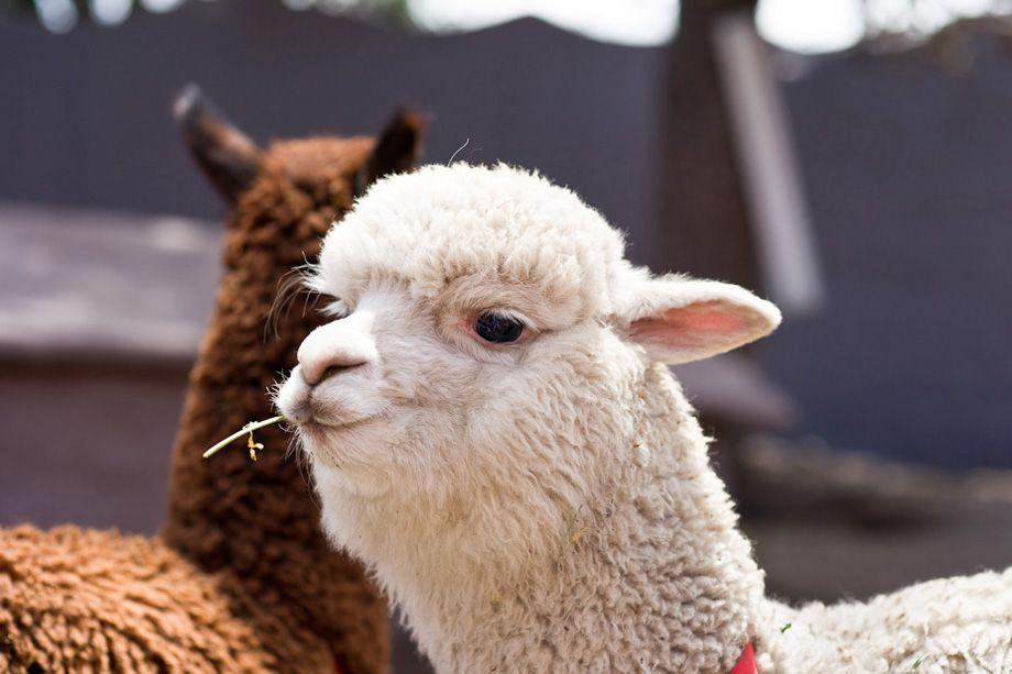 Peru alpaca chewing straw