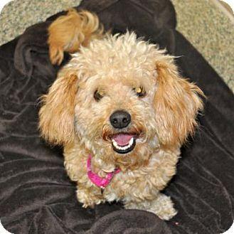 Ann Arbor Mi Cocker Spaniel Toy Poodle Mix Meet Teddy A Dog For Adoption Poodle Mix Dog Adoption Cocker Spaniel Mix