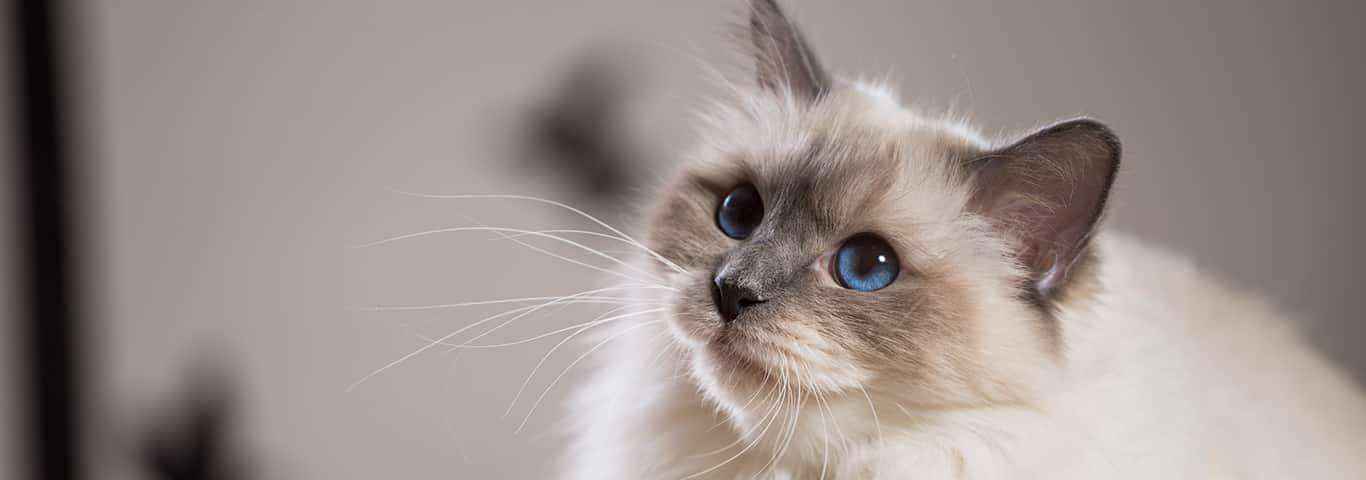 Birman cat birman cat cat breeds pet kitten