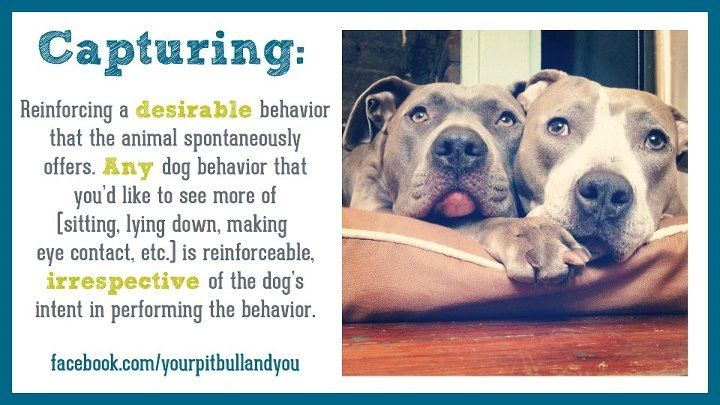 Definition Of Capturing A Behavior Positive Dog Training Dog